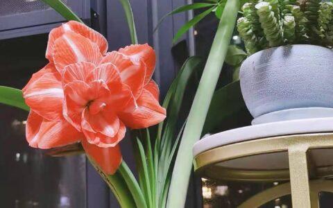 养花 | 人间富贵花朱顶红,小白养花必入手